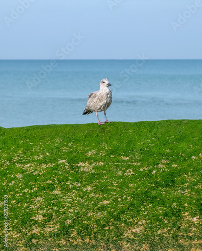 baby seagull on seaweed wall blue sky and sea behind | Buy Photos