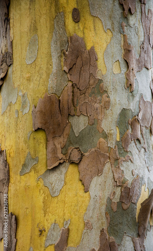 Textures of plane trees. Different colors and shades. Yellow, green, blue, brown and gray. The background of tree trunks. - 223238758