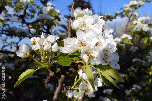 Fototapeta Kwiat wiśni, wiosna