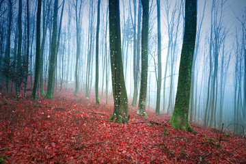 Foggy beech forest landscape with red leaves on the ground. © robsonphoto