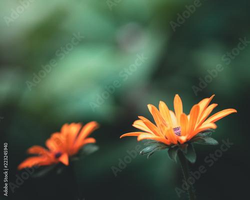 orange Blumen mit grünen Hintergrund