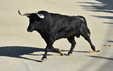 bull in spain witg big horns