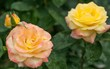 Pink and Yellow Roses with Water Drops