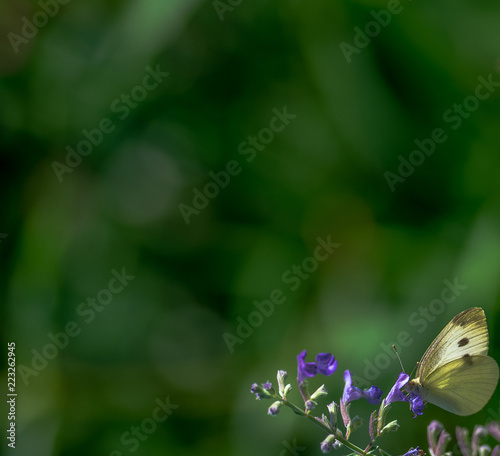 White Scales on a Cabbage White Butterfly on Purple Flowers