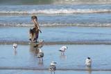 pelicanos - 223263183