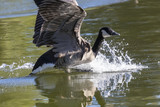 A Canadian Goose Landing in Water - 223298561