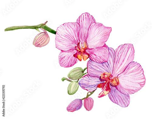 Oddział różowy storczyk. Dłoń akwarela. Odosobniony kwiat na białym tle