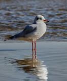 Seagull, Baltic Sea - Poland