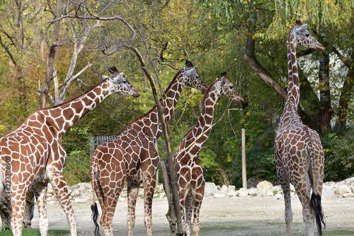 Fototapeta Giraffen im Zoo