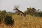 Giraffe im Kruger-Nationalpark in Südafrika - 223312922