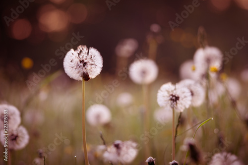 White dandelion blowing away flower closeup.  Soft focus with bokeh, toning - 223315533