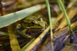 Frog hiding between reed, Danube, Germany.