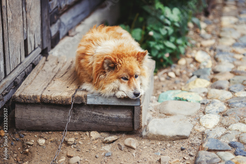Chained rural dog lying near wooden barn and watching