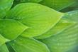 Leinwandbild Motiv background of green leaves, raindrops on a plant