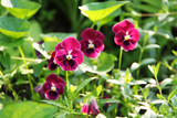 Viola wittrockiana or Víola trícolor is a large-flowered hybrid plant cultivated as a garden flower, common in Europe and temperate areas of Asia. - 223334545