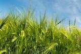 Green Barley / Wheat Field - 223338995