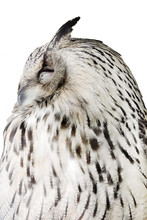 Sleeping  Eagleowl Closeup Sticker