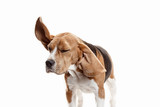 Front view of cute beagle dog sitting, isolated on a white studio background - 223344951