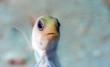 yellowhead jawfish,Opistognathus aurifrons,