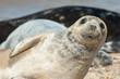 Leinwandbild Motiv seal pup close-up with a happy expression