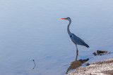 Bird Grey Heron Water