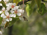 The flowers of the apple tree and the bee, which pollinates in sping garden - 223378713