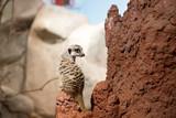 meerkat sitting on rock - 223380742
