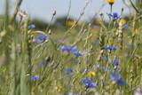 wild cornflower in field