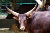 Ankole Vatuti Cow - 223384392