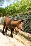 petit Chèvre  - 223389703