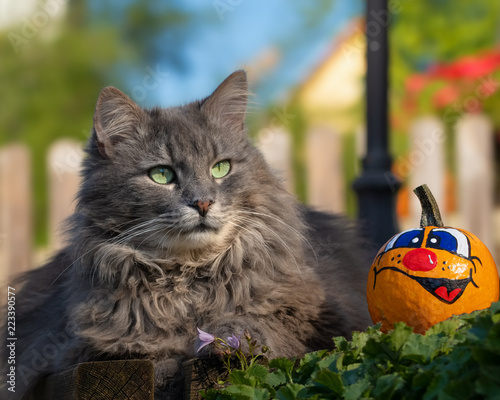 Grey longhaired cat with a cheerful Halloween pumpkin