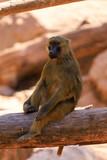 baboon - 223394354