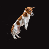 Jack Russell Terrier, isolated on black at studio