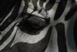 occhio di zebra - 223401334