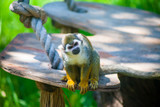 Squirrell monkey looks curiously - 223405735
