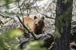 Cinnamon Grizzly Cub