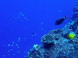 Coral Reef in Blue with Tropical Fish Ridgeline with Blue Background