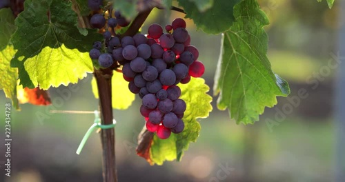 Red grapes on a vineyard at sunset