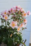 Light pink anemone - 223441746