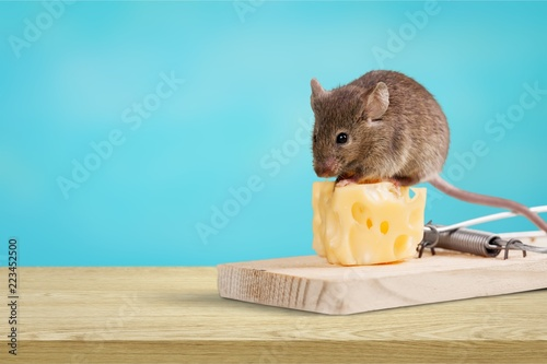 Fototapeta Mouse trap with cheese and mouse on