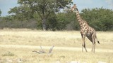 big giraffe parade through viewframe at waterhole in etosha national park, namibia - 223455789