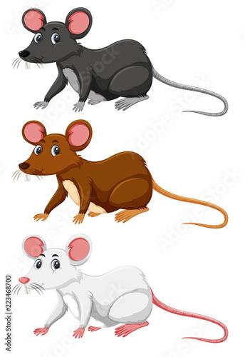 Trzy różne kolory szczura
