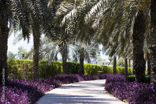 A concrete pathway passing palm trees and small purple bushes in Dubai