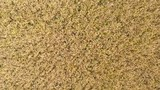Aerial close up - Top down view of golden wheat gently swaying in breeze made by drone propellers. - 223486516