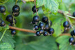 Delicious fresh black currant grows on bush