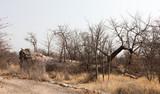 Large baobab tree fallen in Botswana - 223489551