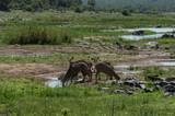 Wild kudu female group in summer, Olifantsriver natural environment - 223506388