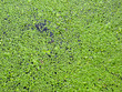 Leinwandbild Motiv Natural green duckweed on the surface of the pond.