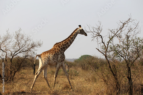 Fototapeta Giraffe im Kruger-Nationalpark in Südafrika