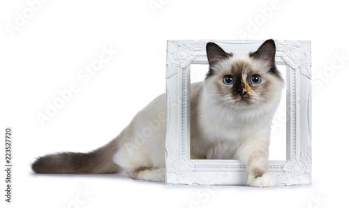 Niegrzeczny szylkretowy Świętej Birman kota figlarki pozycja / chodzący boczni sposoby przez białej fotografii ramy, patrzeje obiektyw odizolowywającego na białym tle